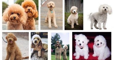 Miniature Poodle Training