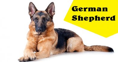 German Shepherd Life Span